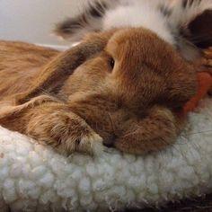 Rambo. Cutest bunny. Sweet too. Miss him.