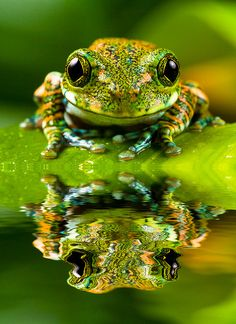 A frog reflection. The big-eyed tree frog, or peacock tree frog (Leptopelis vermiculatus) is a species of frog found in forest areas in the African country of Tanzania. In some literature, it is referred to as the Amani forest tree frog. Funny Frogs, Cute Frogs, Les Reptiles, Reptiles And Amphibians, Beautiful Creatures, Animals Beautiful, Sapo Meme, Animals And Pets, Cute Animals
