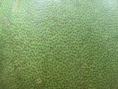 Sur l'écorce des agrumes, mais aussi sur les feuilles, on aperçoit les capsules d'huile essentielle Slow Travel, Mauritius, Agriculture, Sustainable Tourism, Leaves