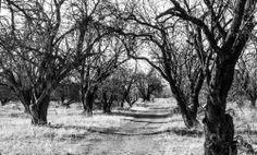 Sycamore Grove Park, Livermore, CA www.ShotByJacob.com #sycamoregrovepark #livermore #trivalley #california #mycrappycamerablog #blackandwhite