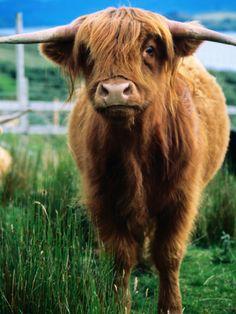 Highland Cow, Hope, United Kingdom
