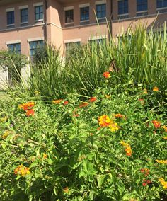 Lantana in front of the Avery Building on the Texas State Round Rock Campus. July 2016