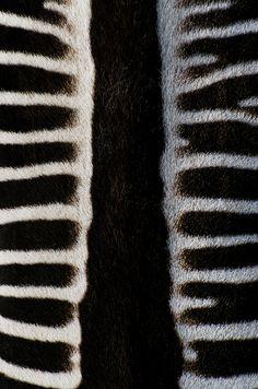 "White Stripes by Geir Pedersen. ""The back of a Grévy's zebra (Equus grevyi)."""