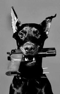 Doberman with a gun. Ha! Only need one or the other