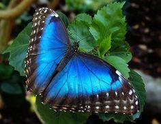 Costa Rica Blue Morpho Butterfly