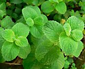 spearmint herb Cures Nausea,Treats Indigestion, Aids Relaxation, mucolytic,  health benefiting vitamins, antioxidants and phyto-nutrients.