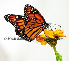 monarch butterfly Monarch Butterfly, Butterfly Wings, Zinnias, Butterflies, Butterfly