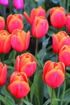 Tulipa Christmas Orange - Tulip Bulbs for sale