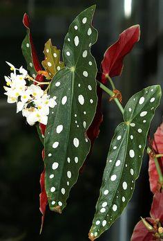 My brilliant kitten 😙😍❤️🐙👫 Rare Plants, Exotic Plants, Tropical Plants, Cool Plants, Green Plants, Begonia Maculata, Deco Nature, Decoration Plante, Plants Are Friends