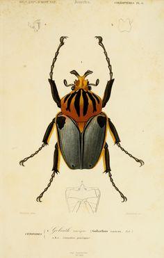 """Dessin couleur insectes d'après """"Dictionnaire universel d'histoire naturelle"""" Atlas Zoologie Tome 2 reptiles et poissons par C. d'Orbigny - Paris - Coléoptères"""