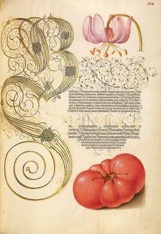 Martagon lily and tomato from Mira Calligraphiae Monumenta, by illuminator Joris Hoefnagel, 16th c.