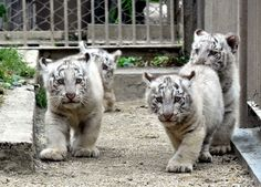Ces petits tigres blancs sont nés il y a deux mois au zoo de Miyashiro (Japon).