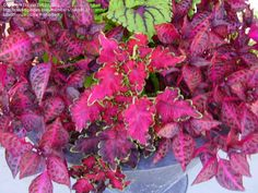 "Beefsteak Plant, Bloodleaf, Chicken Gizzard Iresine herbstii""   Mixed with Kong Coleus (and a couple other varities) this plant does great in Zone 6"""