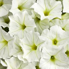 """New for 2014! SUPERTUNIA® WHITE IMPROVED (Petunia hybrid):  New improved white flower with faint yellow throat.  Mounding habit excellent in hanging baskets and in the landscape.  10-18 """" height; 24-36"""" spread.  Full sun. http://emfl.us/5NGd"""