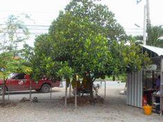 ต้นขนุน รับถมที่ ปลุกต้นไม้