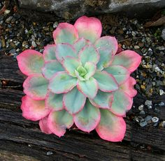 Echeveria 'Rainbow Sunset'