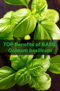 11 medicinal plants you need to create your garden pharmacy Benefits Of Basil, Healthy Herbs, Vitamin K, Lower Blood Pressure, Medicinal Plants, Pharmacy, How To Stay Healthy, Create Yourself, Medicine