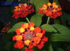Lantana : Never grown this one but...Wow what a great plant. A favorite in my garden. Easy to care for, Low watering needs, blooms and blooms. Many different colors and varieties. I see that if you live in the deep south it can be troublesome and invasive. In the north that isn't a concern, but it does flower well into the fall. Love it