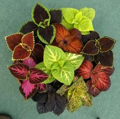 Houseplants for Better Sleep To Successfully Grow Coleus As A Houseplant Top View Of An Indoor Coleus House Plant.Top View Of An Indoor Coleus House Plant. Shade Garden, Garden Plants, Indoor Plants, House Plants Decor, Plant Decor, Container Plants, Container Gardening, Plantas Indoor, Water From Air