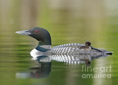 An image of a loon chick quietly riding on a parents back.