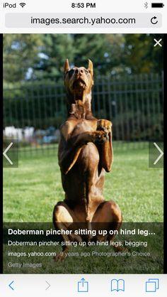 Doberman sitting