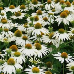 VIT RUDBECKIA 'Feeling' Stora, vita blommor med gyllengul mitt. Snabbväxande och härdig perenn som blommar rikligt redan första året. Kompakt växtsätt med friskt grönt bladverk för rabatter, samplanteringar och buketter.