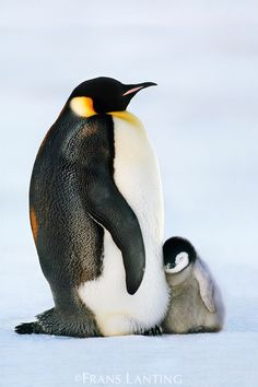 Baby penguin is a wittle bit sweepy http://ift.tt/2edjDRa