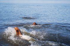 Ellis Farms Chesapeake Bay Retriever - Making waves 8/2013 Making Waves, Chesapeake Bay, Farms, Future, Dogs, Homesteads, Future Tense, Pet Dogs, Doggies