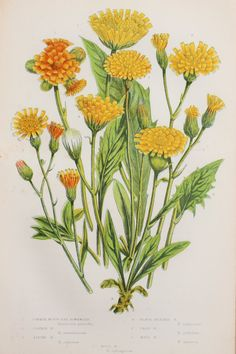 Anne Pratt Antique Botanical  Print - Yellow Hawk Weed, Hawkweed (112)
