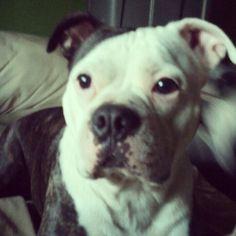 Gambit: Boston Terrier/American bulldog