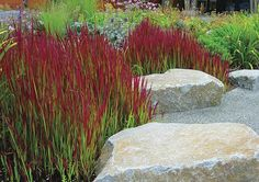 IMPERATA cylindrica 'Red Baron' -