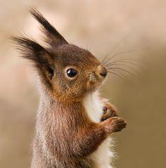 Super Cute Animals, Cute Baby Animals, Funny Animals, Squirrel Pictures, Funny Animal Pictures, Cute Squirrel, Squirrels, Animal Posters, Tier Fotos