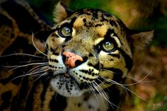 The Clouded Leopard is just one of the big cats that is an endangered species. All of the big cats still in the wild are endangered. The numbers of wildcats are devastatingly low and there are just too many poachers killing them for profit. Nature Animals, Animals And Pets, Baby Animals, Cute Animals, Beautiful Cats, Animals Beautiful, Majestic Animals, Big Cats, Cute Cats