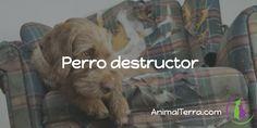 Prevenir la conducta de un perro destructor, es importante para reducir la ansiedad de la separación, miedo y soledad de nuestra mascota