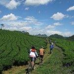 Biking through tea farms