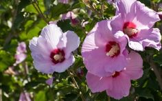 Growing rose of Sharon is an easy and effective way to add long lasting summer color with little fuss. Care for rose of Sharon is minimal and can be made easier using the information in this article. Hibiscus Shrub, Shrub Roses, Hibiscus Flowers, Patio Plants, Outdoor Plants, House Plants, Sun Plants, Desert Plants, Rose Of Sharon Tree