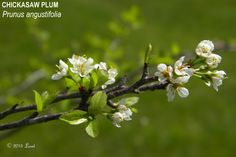 CHICKASAW PLUM (Prunus angustifolia) | What Florida Native Plant Is Blooming Today?™