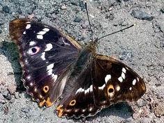 Pikkuhäiveperhonen, Apatura ilia - Perhoset - LuontoPortti