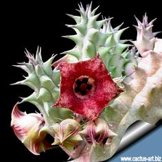 Huernia macrocarpa  (+ link to data sheet)
