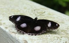 Black and white spots Butterfly  Copyright Mai Wilde  Allow to repin only