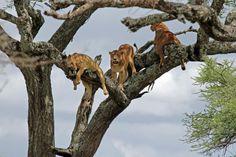Tree Lions by Tony Murtagh