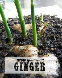 House Plant Maintenance Tips You Can Have Your Own Ginger Plant From Rhizomes Found In The Grocery Store Preparednessmama Growing Herbs, Growing Vegetables, Growing Ginger Root, Planting Ginger Root, Growing Ginger Indoors, Organic Gardening Tips, Vegetable Gardening, Urban Gardening, Urban Farming