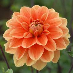 """TEDDY Dahlia, Swan Island Dahlias, 5"""" bloom, great cut flower, grows 4-1/2' tall."""