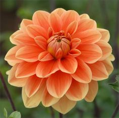 "TEDDY Dahlia, Swan Island Dahlias, 5"" bloom, great cut flower, grows 4-1/2' tall."