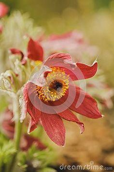 Red flower of Pulsatilla in garden