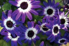 Senetti® Blue Bicolor - Cineraria - Pericallis