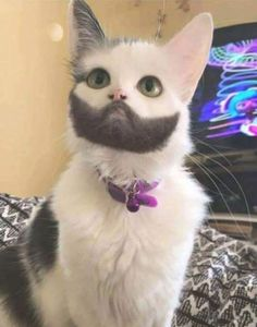 Cat with amazing beard - your daily dose of funny cats - cute kittens - pet memes - pets in clothes - kitty breeds - sweet animal pictures - perfect photos for cat moms Cute Little Animals, Cute Funny Animals, Funny Cats, Funny Looking Cats, Cute Cats And Kittens, Baby Cats, Ragdoll Kittens, Adorable Kittens, Bengal Cats