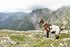 Cabra en Fuente Dé (Cantabria)