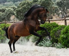 Lusitano Horse Finder | Beautiful Lusitanos for Sale
