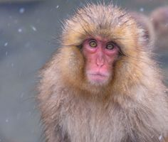 Snow Monkeys Camera Lens Recommendation Images by Blain Harasymiw Photography